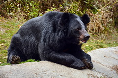 India - West Bengal - Darjeeling - Himalayan Zoological Park - Black Bear (asienman) Tags: india darjeeling westbengal asienmanphotography