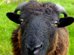 Curiousity (tubblesnap) Tags: brown lake sheep district horns curly cumbria curious keswick curiousity