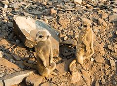 furry little aliens (alex1derr) Tags: meerkat namibia rostockritz