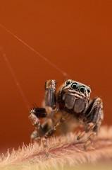 IMGP3679 (Gatapass) Tags: macro spider pentax tamron 90 dcr250 raynox k30 saltique