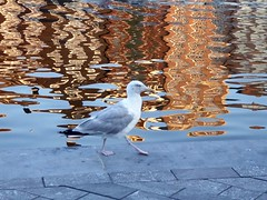 Peaceful pigeon strolling along a canal in Amsterdam (ashabot) Tags: nature water amsterdam birds reflections canal peaceful amsterdamcanals