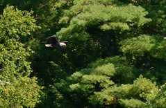 Bald Eagle! (Dr. Farnsworth) Tags: cruise summer white male bird up mi river adult head tail ngc baldeagle large soaring upperpeninsula tahquamenon tahquamenonfalls september2015