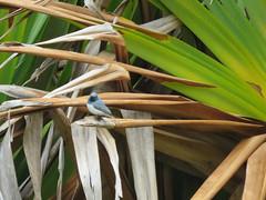 Myiagra rubecula 1 (barryaceae) Tags: new bird birds wales south australian australia aves flycatcher australianbirds taree leaden rubecula myiagra ausbird ausbirds