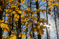 Leaves of gold with sunlight behind