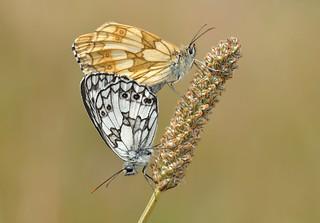 Marbled Whites (Melanargia galathea).