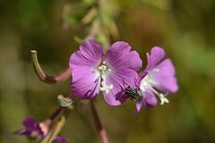 Epilobium parviflorum con mosca (esta_ahi) Tags: pink espaa flores spain flora flor tarragona terraalta onagraceae epilobium hortadesantjoan silvestres parviflorum epilobiumparviflorum