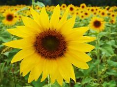 perfect (d1pinklady) Tags: flower md maryland sunflowers sunflower fields jarrettsville