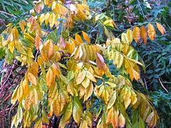5999 Wisteria autumn colour in the back yarden (Andy - Busyyyyyyyyy) Tags: 20161115 aaa autumncolour gardenshoot plants ppp wisteria www