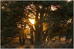 Zonlicht door de takken (7D026936) (Hetwie) Tags: nederland heide zonlicht noordbrabant lierop strabrechtseheide denneboom sunlicht strabrecht