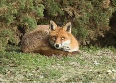 Fox - Vulpes vulpes (Gary Faulkner's wildlife photography) Tags: fox