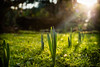 Budding Daffodil, December 2015 (lumofisk) Tags: winter plant green grass 50mm outdoor pflanze daffodil gras grün rasen narcissus osterglocke osterblume 0mmf0 nikondf