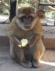 Barbary ape, Cascades de Ouzoud, Morocco (Laura Merwood) Tags: animal monkey morocco ape barbaryape cascadesdeouzoud