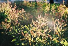 (Joo Quintela) Tags: light summer plants colour verde green folhas film luz portugal analog t plantas zoom lisboa lisbon campo vero yashica textured pequeno lisboeta tzoom