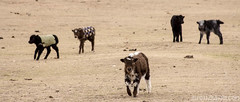 Bébés yaks