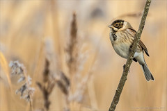 Reed bunting (Beardy Git) Tags: uk bird reed telephoto bunting cambs whittlesey canoneos7dmarkii kingsdykenaturereserve ef100400mmf4556lisiiusm14xiii