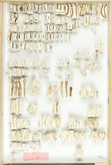 Collection Thure Palm, larvae, pupae 16 (Biological museum, Lund University: Entomology) Tags: pupa larvae pupae larva coleoptera buprestidae elateridae eucnemidae lissomidae thurepalm
