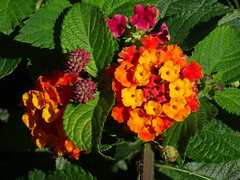 Lantana - Wandelröschen (Gartenzauber) Tags: flowers floralfantasy perfectpetals excellentsflowers natureselegantshots exquisiteflowers mimamorflowers flowerarebeautiful thebestofmimamorsgroups greatshotss contactgroups esenciadelanaturaleza