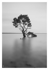 STANDING TALL (Vaughan Laws Photography | www.lawsphotography.com) Tags: longexposure blackandwhite bw seascape tree water monochrome beautiful landscape outdoors alone outdoor minimal le mangrove ndfilter neutraldensityfilter westernportbay tenbypoint blackandwhitefineart nd10stop lawsphotography vaughanlaws longexposurebwfineart mangrovewesternportbay