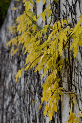 vines on a white wall (Windswept.west) Tags: cold fall yellow vines whitewall nikkor60mmmacro28 nikond5200