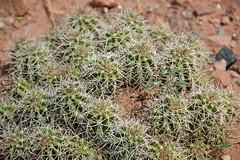 Echinocereus triglochidiatus (claret-cup cactus) 3 (James St. John) Tags: cactus cup claret echinocereus triglochidiatus