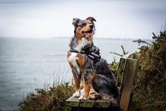 Hyona (Maliss Cogrel) Tags: sea dog chien mer australian bretagne australien plage sheperd berger