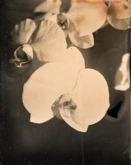 Orchid Tintype (Kenneth Kohl) Tags: light orchid flower film nature wet monochrome analog darkroom vintage view kodak alt wildlife plate dry master ag tintype 4x5 process liquid alternative rockland calumet emulsion colloid collodion