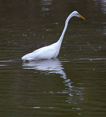 20160103-_74P8457.jpg (Lake Worth) Tags: bird nature birds animal animals canon wings florida wildlife feathers wetlands everglades waterbirds southflorida birdwatcher 2xextender sigma120300f28dgoshsmsports