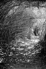 Untitled (Florian Thein) Tags: italien blackandwhite bw italy film analog 35mm 50mm path bamboo fujifilm neopan schwarzweiss bolsena weg bambus pfad unterholz canonf1 understory gehlz