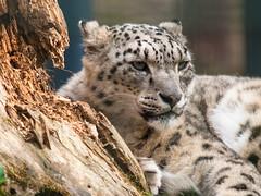 Schneeleopard snow leopard (Klaus Lechten) Tags: parque gardens zoo olympus leopard zoolgico e3 katzen snowleopard ounce zoological raubkatze schneeleopard 50200 zukio nrnbergertiergarten tierparknrnberg groskatzen klauslechten goskatzen zukio50200