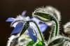 ❁ (cнαт-ɴoιr^^) Tags: 20161109imgp1440 flora wildblume wildkraut gewürz wildflower borretsch boragoofficinalis dillkraut gurkenkraut borage starflower