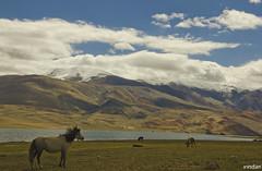Gone with the wind (Arindam G) Tags: stallion freedom ladakh india