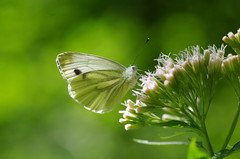 Rapsweiling (Aah-Yeah) Tags: rapsweisling green veined white pieris napi schmetterling butterfly tagfalter marquartstein achental chiemgau bayern