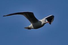 Mouette ( sans Chandon ) (BelgiumOnePoint) Tags: oiseau bird mouette seagull palmipde animal plume feather nikon d500 70200mm genval lacdegenval c1