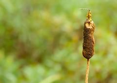 Cattail (Karen_Chappell) Tags: brown green cattail nature plant fall autumn bokeh dof one newfoundland nfld