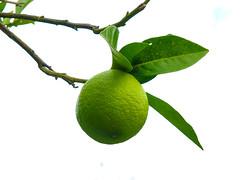 Lemon (tubblesnap) Tags: corfu greece greek island holiday work trip sunny tubblesnap fuji xs1 lemon lime fruit citrus tree