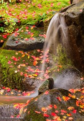 Very Rainy Day at the Garden (David Hollenback) Tags: fall fallcolor garden japanese japanesemaple october rain seattle