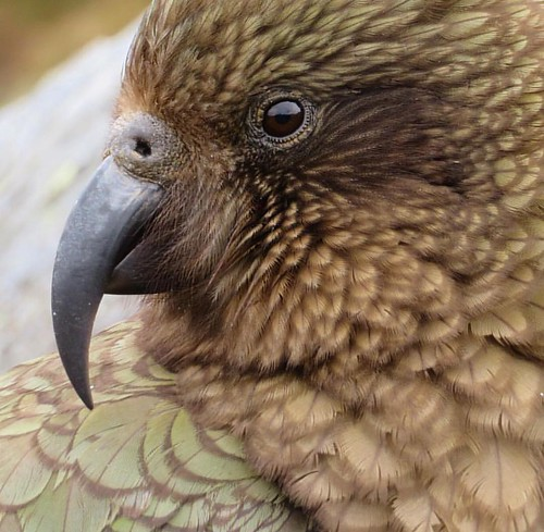 Some Kea love! Pic: @nzmagz #lovewanaka #nzmustdo