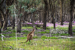 Roo (Dan O'Cker) Tags: renmark southaustralia murrayriver murray roo kangeroo wildlife