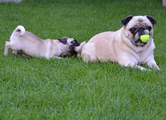 Pug Sneak Attack! (DaPuglet) Tags: pug lol dog pets pugs dogs pet playing funny cute ball tail sneaky outdoor puppy animal animals coth coth5