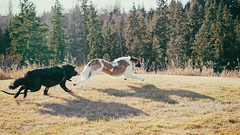 The chase (bratli) Tags: dogs deacon heidi chase play offleash