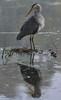 The Morning Preen (paulinuk99999 - tripods are for wimps :)) Tags: paulinuk99999 cold heron preen feather water rain tree shelter stillcold bushy park coldbushypark winter sal135f18za