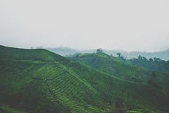 DSCF1123 (tzeyangtan) Tags: cameron highlands getaway green sgpalas tea plantation photography