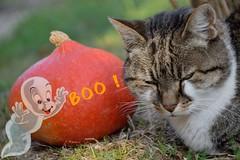 Indiffrence (Mystycat =^..^=) Tags: halloween minetthecat chat cat gato gatto kitty katze citrouille potiron pumpkin casper ghost fantme