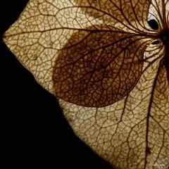 Dried hydrangea - Hortensia sche (monteregina) Tags: autumn fall hortensia hydrangea hydrangeaceae plantae abstract abstrait dry feuille flora flower foliage leaf macro macrophotography onblack plant silhouette transparent veins shadows ombres details textures