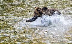 Salmon Grab (Iain Robert Reid Photography) Tags: grizzly bear atnarko river canada british columbia bc great rainforest bella coola belarko viewing platform tweedsmuir provincial park
