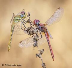 En la cima/At the top (F.Guirado) Tags: sony nex6 90mmfe odonata dragonfly liblula 2016 macrofotografia macro macrophoto macrofoto