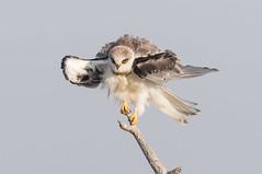 White-tailed Kite (X6A_4399-1) (Eric SF) Tags: whitetailedkite raptor coyotehillsregionalpark fremont california ebparksok