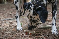 Pilzsuche mit Hund (blumenbiene) Tags: hund dog hunde dogs hndin female dalmatiner dalmatian schwarz weis black white gassi spaziergang pilze mushrooms mushroom pilzsuche suchen search searching