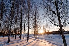 Iisalmi (Tuomo Lindfors) Tags: iisalmi suomi finland dxo filmpack aurinko sun lüneburginpuisto theacademytreealley lumi snow koivu birch myiisalmi