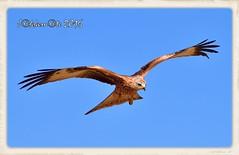 MILANO REAL - EJEMPLAR JOVEN (Milvus milvus) (JORGE AMAYA BUSTAMANTE - JAKKEMATE) Tags: nikon d500 sigma 150500 jakkemate jorge amaya bustamante milano real milvus wildlife photonature